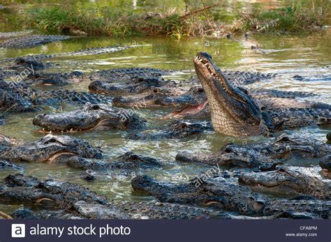 everglades airboat tours alligator farm alligator airboat tours bing images