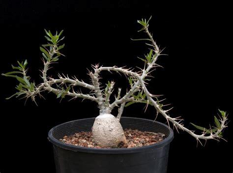 pachypodium bispinosum cactus jungle