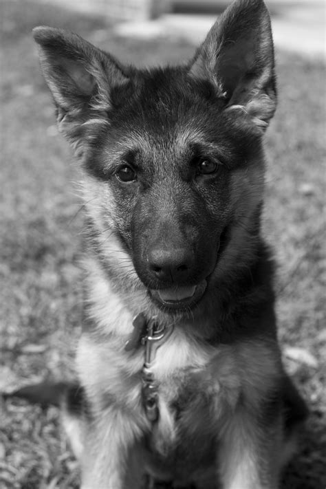 black and white german shepherd black and white german shepherd