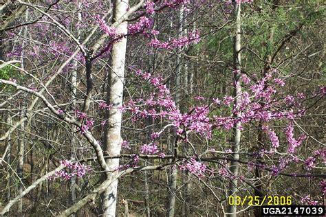 eastern redbud cercis canadensis fabales fabaceae leguminosae 2147039