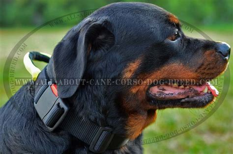 what were rottweilers bred to do weatherproof collar with handle for rottweiler breed pet supplies