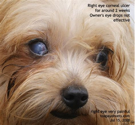 ulcers in dogs 031001asingapore veterinary keratitis eye corneal ulcer silkie 3 years toa