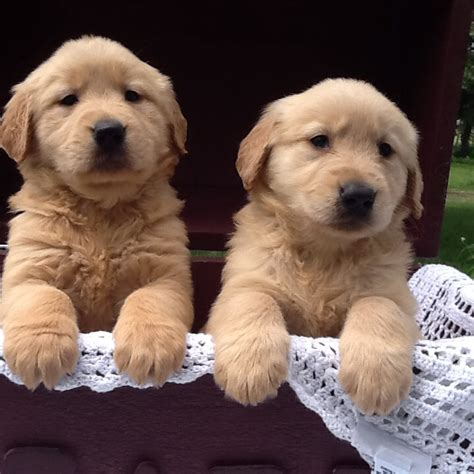 golden retriever home adorable golden retrievers home