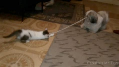 tug of war with puppy cat and play tug of war with cats
