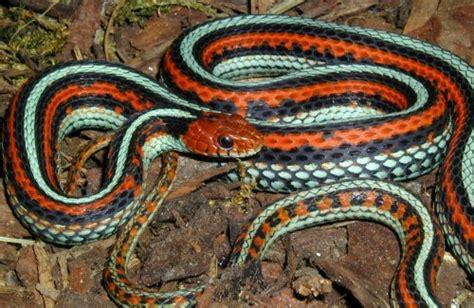 Garter Snake Live Thamnophis Sirtalis Tetrataenia