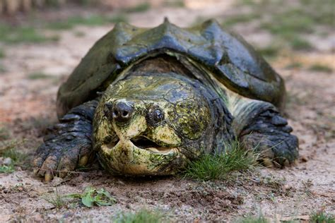Turtle L by Alligator Snapping Turtle Zoo Atlanta