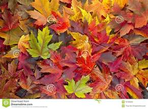 fall leaf colors maple leaves mixed fall colors background 2 royalty free