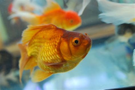 make new year goldfish 24 best images about goldfishes on popular
