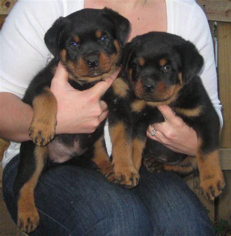 rottweiler puppies german german rottweiler puppies the volhard puppy test atlantahaus rottweilersatlantahaus