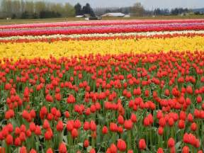 tulip field 2014 skagit valley tulip festival pictures blume map arts crafts more seattle events