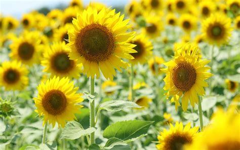 imagen de fondo pantalla completa flores fondos de pantalla im 225 genes de pantalla completa