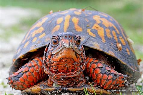 turtles colors eastern box turtle this bright orange color on him