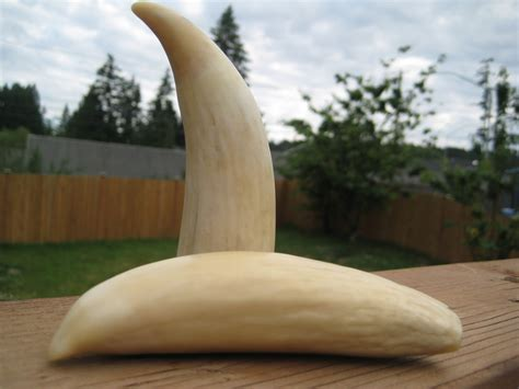 billiken whale tooth neat ivory whale teeth collectors weekly