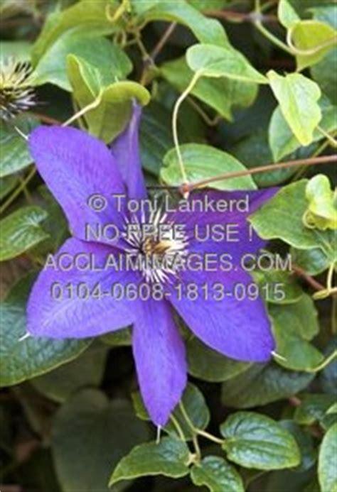 climbing plant purple flowers purple climbing flower clipart stock photography