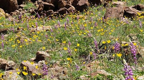 anza borrego wildflowers bloom bloom of wildflowers days away in anza borrego