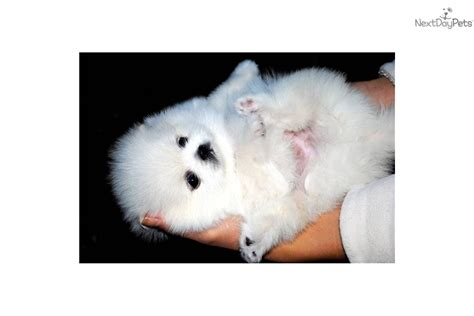 teacup pomeranian for sale vancouver vancouver rental backpage