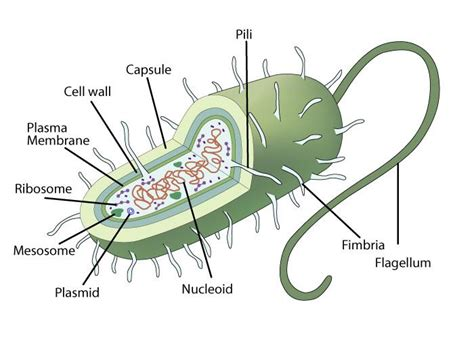 prokaryotic cell structure sciencetopia
