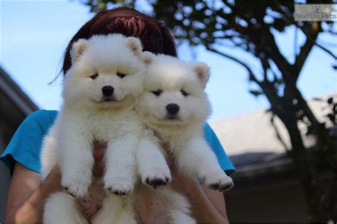 samoyed puppies near me samoyed puppy for sale near ta bay area florida 9bea92b9 8881