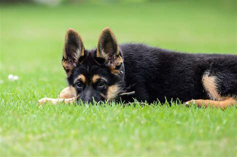 best german shepherd 10 best german shepherd names gsdtube