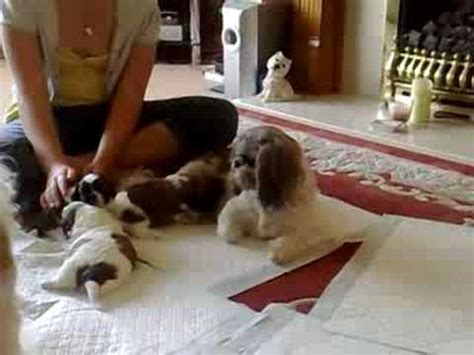 can a shih tzu walk 3 3 week shih tzu puppies learning to walk and play