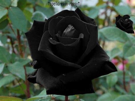 imagenes de flores negras reales rosas rosas negras and negro on pinterest