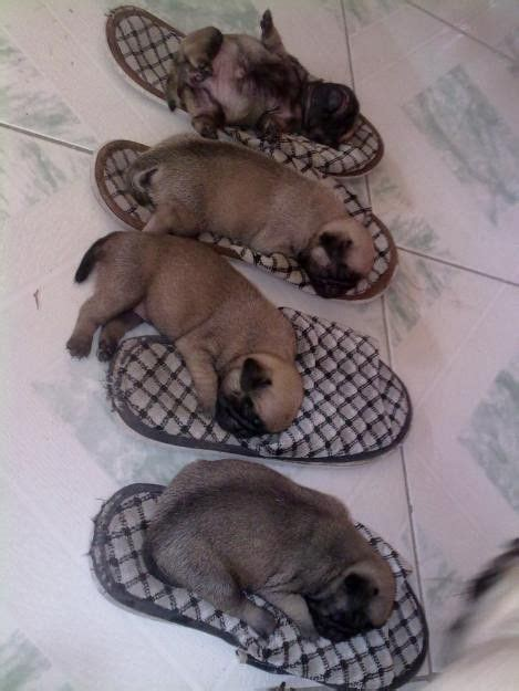 children s pug slippers 1000 images about handful of puppies on chihuahuas boston and puppies