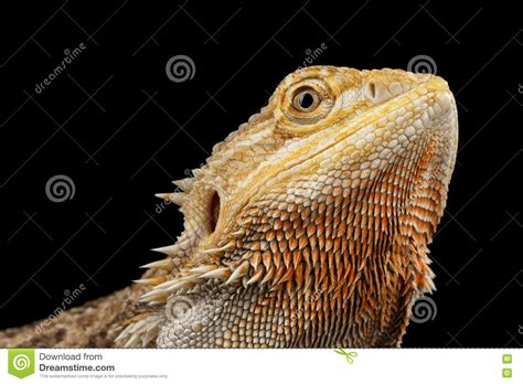 Heat L For Bearded Dragons by Bearded Heat L Times 28 Images Is It Time For The