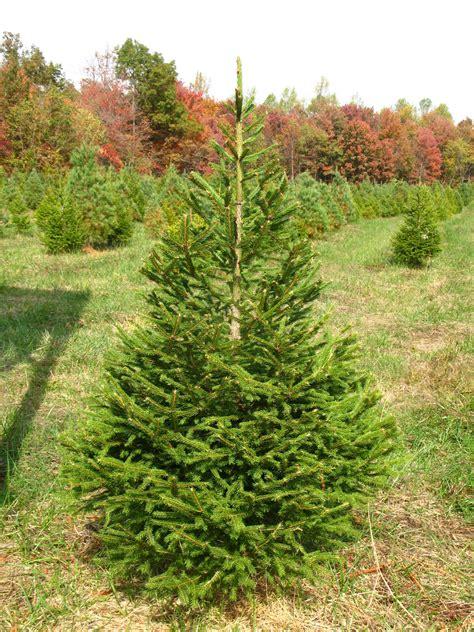 lightly pruned norway spruce picea abies jakins