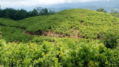 Ceylon Srilanka ceylon true cinnamon cultivation areas in sri lanka