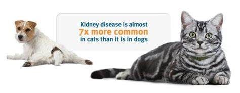 kidney failure when to euthanize kidney problems in cats symptoms treatment stages expectancy food