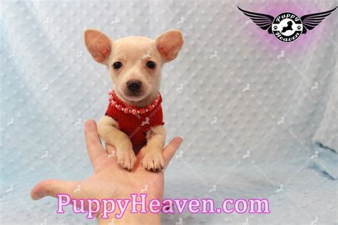teacup chiweenie puppies for sale teacup dachshund puppies for sale breeds picture