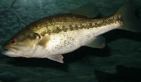 Fisch Bass by File Largemouth Bass Fish Underwater Animal In