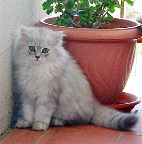 persiani chinchilla persiano chinchill 224