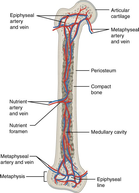 middle section of a long bone 6 3 bone structure anatomy and physiology