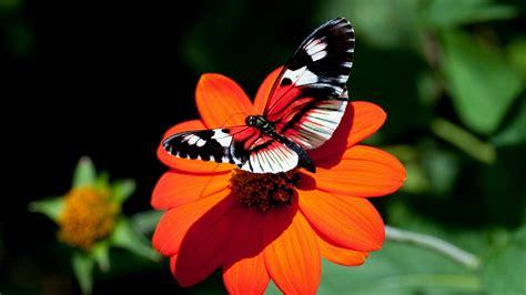 wallpaper flower butterfly wallpaper butterfly hd wallpapers