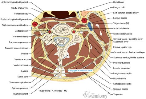 cross section of neck anatomy of the spine and back
