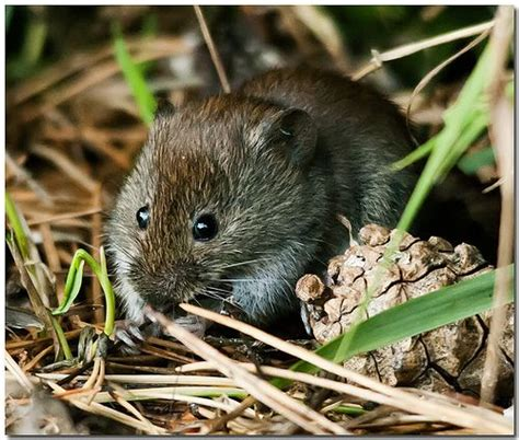 garden rodents types 17 best images about rats mice moles voles and