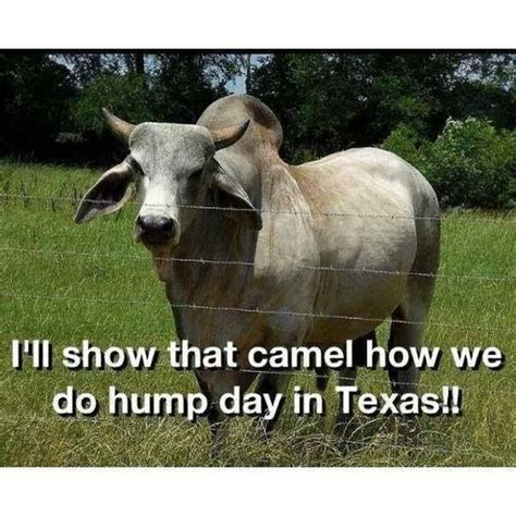 Texas Longhorn Memes - texas longhorn hump day check out this funny meme