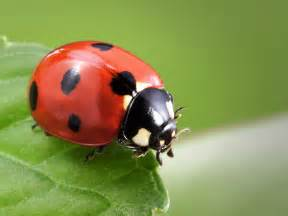 what color is a ladybug true or false ladybugs thinglink