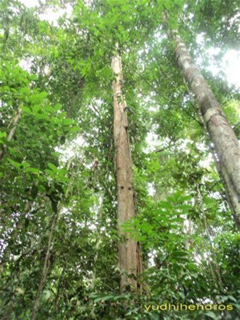 Gergaji Untuk Pohon Kayu 1 kayu ulin sang primadona yang terancam punah oleh yudhi hendro kompasiana