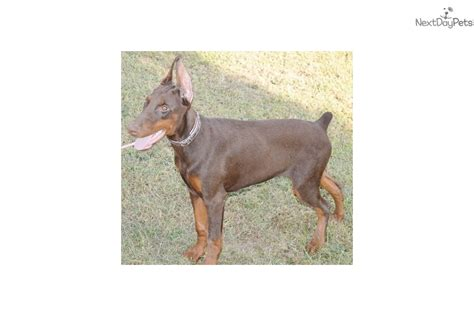 doberman puppies near me doberman pinscher puppy for sale near springfield missouri 02ac80a7 abb1