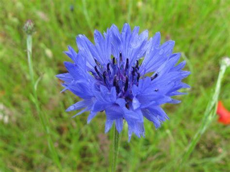 fiore fiordaliso fiori fiordaliso fiori di piante