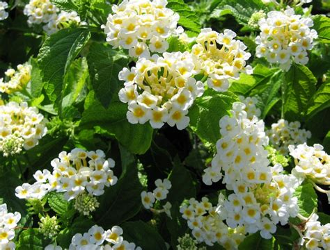 Tanaman Hias Bunga Anthurium Putih Besar Big White tanaman tembelekan putih white lantana bibitbunga