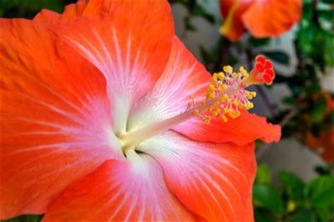 Hibiskus Als Zimmerpflanze by Hibiskus Als Zimmerpflanze 187 Das Ist Bei Der Pflege Zu