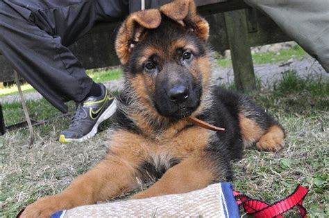 how to care for a german shepherd puppy facts about german shepherds