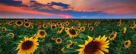 sunflower fields sunflower field hd wallpapers