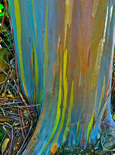 rainbow eucalyptus rainbow eucalyptus tree facts images