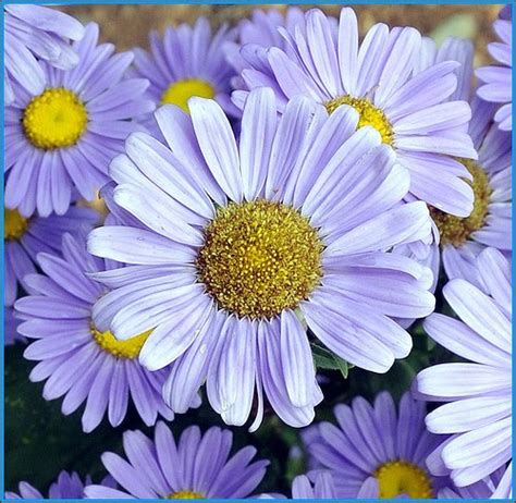 daisy flower beautiful flowers daisy flowers pictures meanings