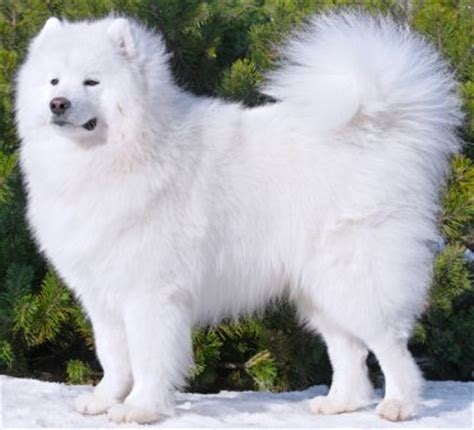 samoyed breed samoyed breed info characteristics glomerulopathy