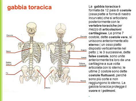 gabbia toracica costole sistema scheletrico funzione sostegno ppt